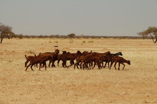Herding at Tamesna School